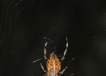 HumBug: Halloween Spiders