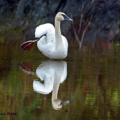Swan at Benbow