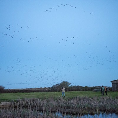 Aleutian Geese Fly-Off 2020