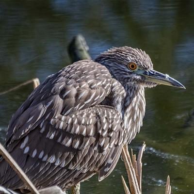 Godwit Days Birding Festival