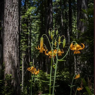 Still Wild: Prairie Creek State Park