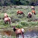 Death of 4 Roosevelt Elk, Including a Pregnant Cow, Under Investigation