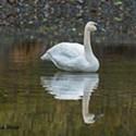 Lone Swan Graces Benbow