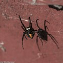 Black Widows Found at Carlotta Post Office