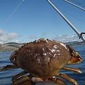 Still no Crab