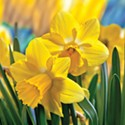Daffodil Show to Fill Riverlodge