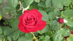 """BY DIANA COOPER - Olympiad rose with spotted leaves - Caption:  """"Out, out damn spot…"""", this beautiful olympiad rose is marred by spotted foliage. At the October 11 Humboldt Rose Society meeting, an expert rosarian can identify what causes those spots and how to treat them."""