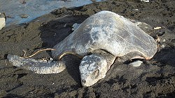 PHOTO BY MIKE KELLY - An olive ridley sea turtle washed up near Cape Mendocino.