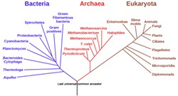 IMAGE BY ERIC GABA/NASA, PUBLIC DOMAIN - Phylogenic tree of all life on Earth, as proposed by Carl Woese, showing how bacteria, archaea and eukaryotes originated with the last universal common ancestor (LUCA), the black trunk at the bottom of the tree. This may be oversimplified; for instance, eurkaryotes may have resulted from the union of bacteria and archaea.