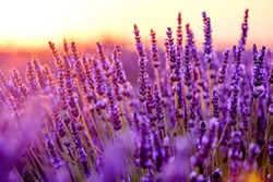 SHUTTERSTOCK - Lavender grows wonderfully in winter and provides beautiful, fragrant foliage when in bloom.