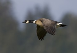 Aleutian Cackling Goose in Flight credit Mike Peters