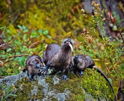 PHOTO BY TALIA ROSE - Two young otter pups watch their mother fish Sept. 10, 2017.
