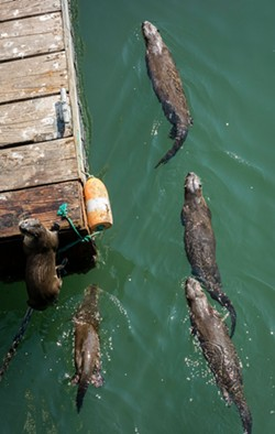 MARK LARSON - Otters seen from the Trinidad pier.
