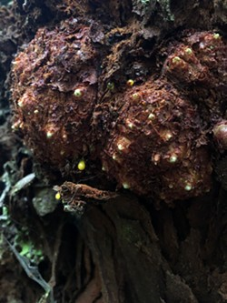 Redwood Burl Tissue - Uploaded by BLM