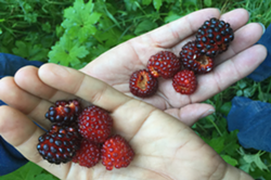 Red Salmonberry harvested in Humboldt County - Uploaded by kgraham