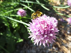 Bee on chive blossom - Uploaded by haley
