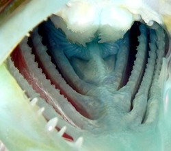 PHOTO BY MIKE KELLY - A lingcod's inside teeth.