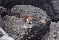 PHOTO BY MIKE KELLY - A grizzled otter resting at Sharp Point.