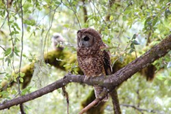 Spotted Owl Female and Juvenile - Uploaded by Denise Seeger