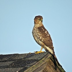 Cooper's Hawk - Uploaded by Denise Seeger