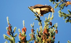 PHOTO BY CAITLIN PARSON - A red-tailed hawk
