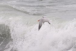 PHOTO BY MIKE KELLY - A Caspian tern with a surf smelt.