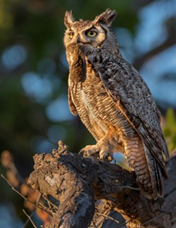 great-horned_owl_with_gopher._photo_by_joe_galkowski.jpg