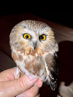 Northern Saw-whet Owl - Uploaded by Denise Seeger