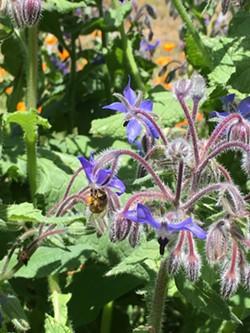 Honey bee on borage - Uploaded by Cheryl