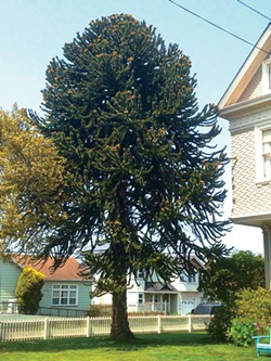 PHOTO BY RYAN SCOTT - The Monkey Puzzle tree at 14th and J streets.