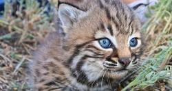 fcd6f63f_bobcat-kitten-flikr-300x160.jpg