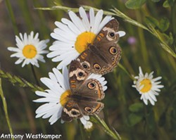 PHOTO BY ANTHONY WESTKAMPER - The Buckeye butterfly's eye-like wing spots can intimidate predators.