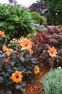 PHOTO BY GENEVIEVE SCHMIDT. - 'Mystic Spirit' Dahlia in the Leonard Garden, designed by Ryan Scott.