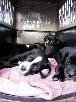 LINDA STANSBERRY - St. Bernard cross puppies from the Estrada home, on their way to McKinleyville to be adopted.