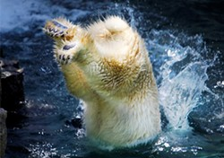a495e25f_polar_bear_plunge.jpg