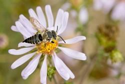 nativebee.jpg