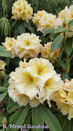"""DON WALLACE - R. """"Melted Sunshine,"""" a new hybrid developed by Don Wallace of Singing Tree Gardens and Nursery in McKinleyville."""