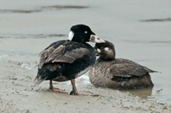 Surf Scoter Male & Female by David F. Thomson