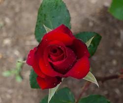 BY NANCY DAVIS - Kardinal rose (hybrid tea)