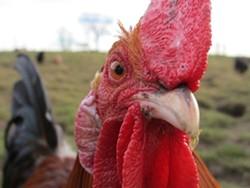 b218dca6_chicken-647226_960_720.jpg