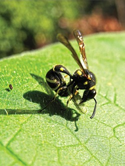 ANTHONY WESTKAMPER - The potter wasp preparing a caterpillar meal.