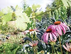 PHOTO BY HEATHER JO FLORES - Echinacea, grapes and lacinato kale plus horseradish on bottom left.