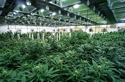 SHUTTERSTOCK - While a recent poll shows 58 percent of California voters support Proposition 64, those in the cannabis industry are reportedly deeply divided on the issue.