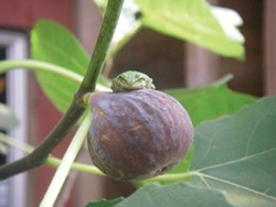 PHOTO BY HEATHER JO FLORES - A tree frog sits on a neverella fig.