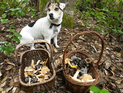 PHOTO BY KEVIN SMITH - Abalone, the author's mushroom-hunting dog, with the harvest.