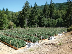 COURTESY OF THE CALIFORNIA DEPARTMENT OF FISH AND WILDLIFE - A large-scale commercial marijuana farm.