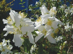 PHOTO BY DONNA WILDEARTH - Native wild mock orange in a Eureka garden.
