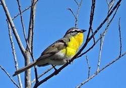a88b337c_yellow_breasted_chat_kenburton.jpg