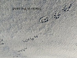 799f8799_otter_tracks_in_sand.jpg