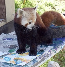 f8d61e95_red_panda.jpg
